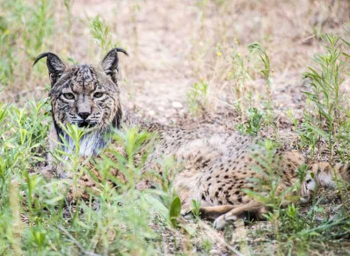 lince ecologistas